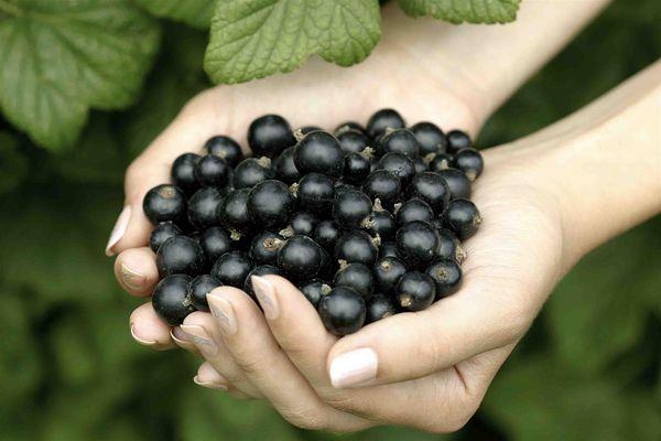применение масла черной смородины для лица